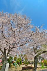 春桜寸景(7)「小手指農林公園(2)」