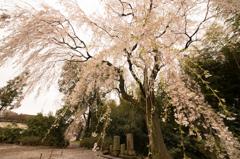 頼母子の枝垂れ桜「桜」