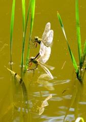 蜻蛉姿態 8-1 「産卵(ヤンマ)」