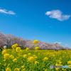権現堂公園 2020「春」