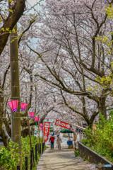 桜の樹の下で(埼玉県幸手市権現堂公園)(27)「来る道」