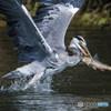 鮎食う鷺(思川)(6)