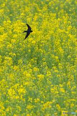 春燕の花(ツバメ)(4)