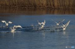 白鳥池寒冷