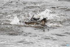 浮き華の川(ハクレン)(2)