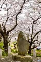 桜の樹の下で(埼玉県幸手市権現堂公園)(28)「巡礼さん」