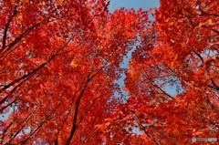 赤紅葉(東福寺)(3)