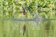 いつもの公園「魚漁る鳥」