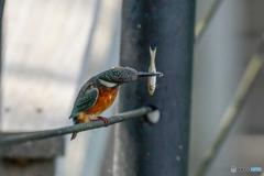いつもの公園「魚喰う鳥」(2)