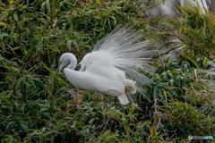鷺山訪問「飾り羽キラリ」