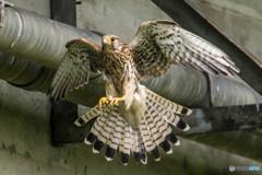 翼(チョウゲンボウ)(4)