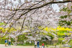 桜の樹の下で(埼玉県幸手市権現堂公園)(22)「思い出坂」