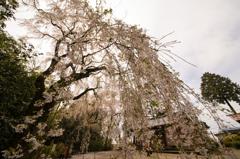 頼母子の枝垂れ桜「桜枝垂れ」