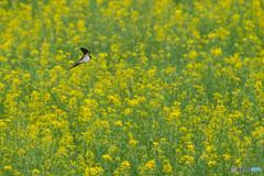 春燕の花(ツバメ)(3)