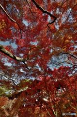赤紅葉(東福寺)(1)