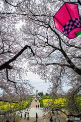桜の樹の下で(埼玉県幸手市権現堂公園)(14)「外野橋」