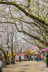 桜の樹の下で(埼玉県幸手市権現堂公園)(25)「桜トンネル」