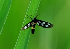 今日の昆虫 7-1「カノコガ」