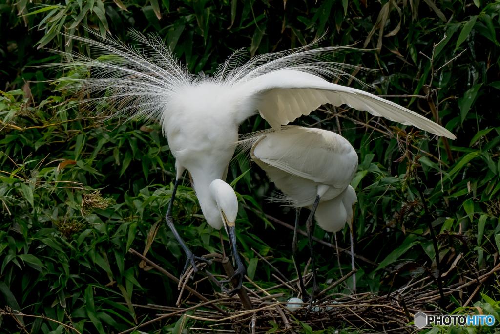 鷺山訪問「抱卵、慈しみの翼」