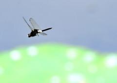今日の昆虫 7-5「とんぼ飛行姿勢」