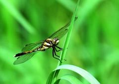 今日の昆虫 7-2「とんぼ」