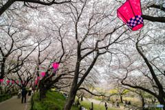 桜の樹の下で(埼玉県幸手市権現堂公園)(15)「権現堂堤」