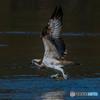 魚獲る鳥(ミサゴ)(2)