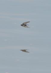 水面滑燕(1)