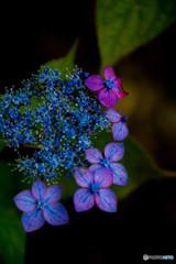彩花、紫陽花(壱)