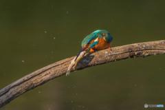 いつもの公園「魚漁る鳥」(6)