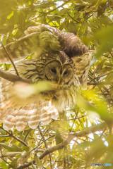 森の賢人(フクロウ)(1)