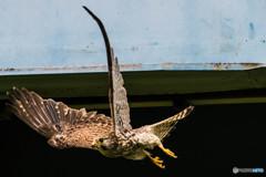 翼(チョウゲンボウ)(2)