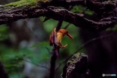 ブナ林にて「雨乞いの鳥」