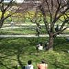 いつもの公園 桜四景 「夫唱婦随」