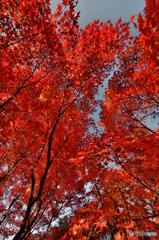 赤紅葉(東福寺)(2)