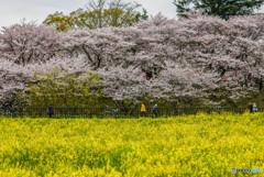 桜の樹の下で(埼玉県幸手市権現堂公園)(19)「黄色」