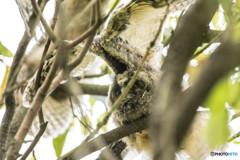トラフズクの木「翼の木」