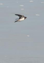 水面滑燕(3)