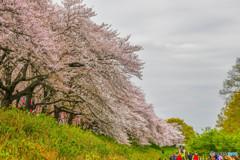 桜の樹の下で(埼玉県幸手市権現堂公園)(21)「下がり枝」