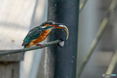いつもの公園「魚喰う鳥」(3)