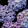 いつもの公園「紫陽花優華」