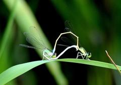 今日の昆虫 7-4「イトトンボ交尾」