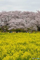 桜の樹の下で(埼玉県幸手市権現堂公園)(20)「観桜」