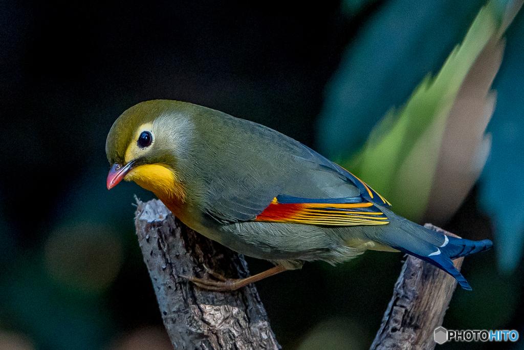 極彩の鳥(ソウシチョウ)