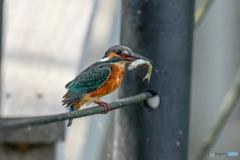 いつもの公園「魚喰う鳥」(1)
