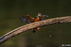 いつもの公園「魚漁る鳥」(1)