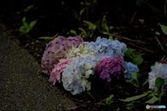 終い紫陽花