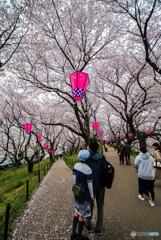 桜の樹の下で(埼玉県幸手市権現堂公園)(16)「ツーリスト」