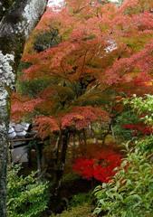 京都 御室仁和寺 10-5「さやかに」