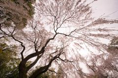 頼母子の枝垂れ桜「桜降」